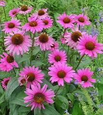 bibor_kasvirag_(echinacea)