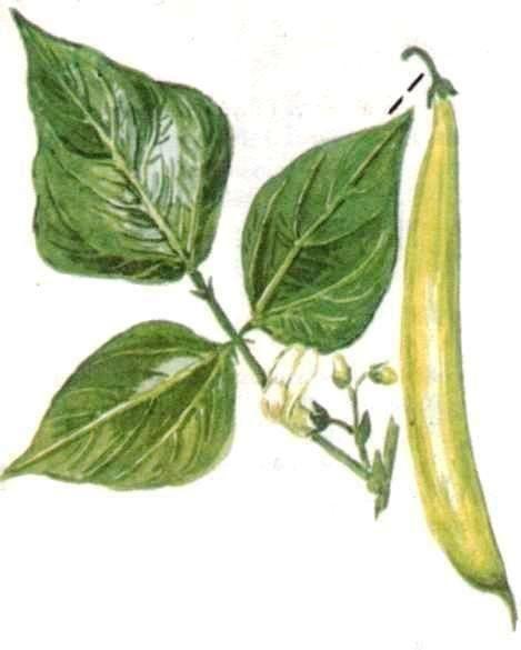 Fehér babhéj - Herbatop Gyógynövény- és Biobolt