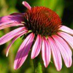 dr.flora_echinacea_filteres_tea_25_filter