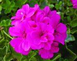 geranium_illoolaj_10_ml