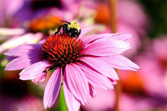 Hogy ne legyen hapcika, akkor Echinacea